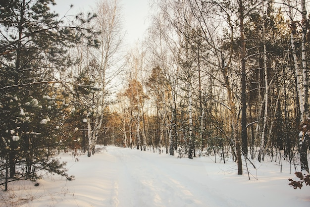 Fundo claro de floresta de inverno com bétulas cobertas de neve