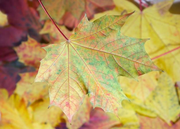 Fundo colorido da folha de bordo do outono