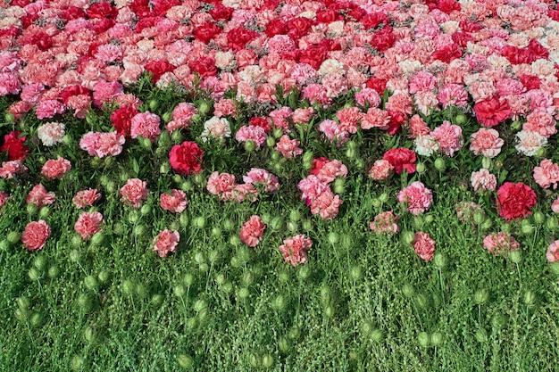 Fundo colorido das flores do cravo.