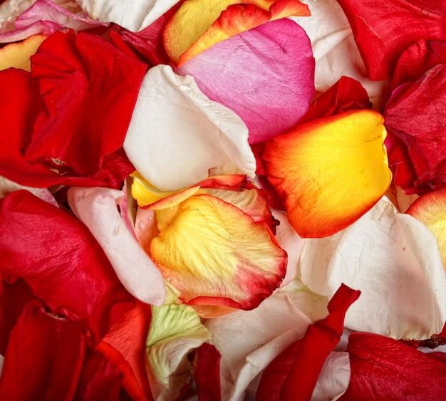 Fundo colorido de pétalas de rosa