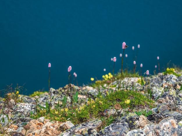 Fundo colorido de verão com grama alpina bistorta officinalis em morenas. flora selvagem na primavera e no verão. copie o espaço.
