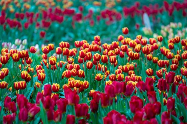 Fundo colorido lindo de tulipas vermelhas e amarelas. campo de flores da primavera. tulipas canteiro de flores em danang, vietnã, close-up