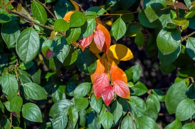 Fundo colorido outonal com folhas vermelhas close-up. folhagem multicolorida cotoneaster lucidus na floresta. conceito de outono.