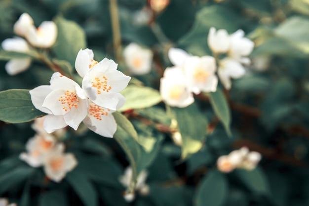 Fundo com arbusto de jasmim em flor de primavera jardim ou parque