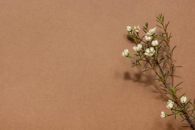 Fundo com chamelaucium ou flor de cera, flor tenra, flor de violeta, camada plana, vista de cima