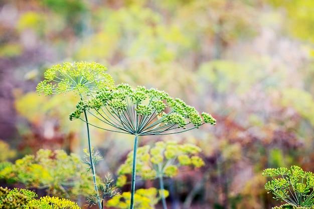 Fundo com endro guarda-chuva closeup. endro perfumado no jardim