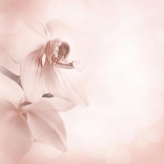 Fundo com flores da orquídea