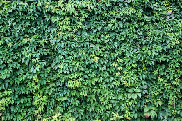 Fundo com folhas de vinho verde fresco