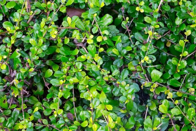 Fundo com folhas pequenas folhas com cor verde escura. natural.