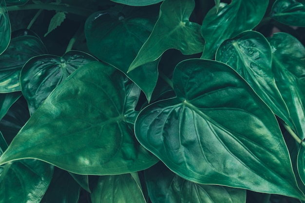 Fundo com folhas tropicais verdes escuras