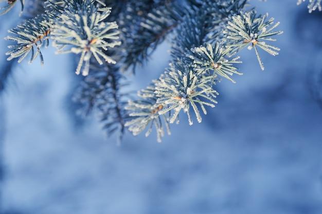 Fundo com ramo de pinheiro coberto de neve