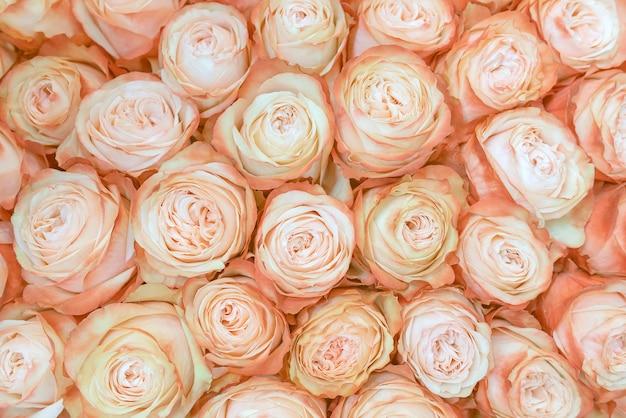 Fundo cremoso fresco, bonito das rosas.