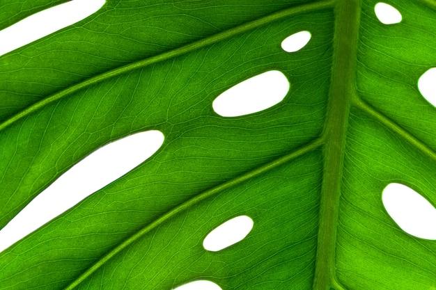 Fundo criativo de uma folha de planta monstera. pano de fundo