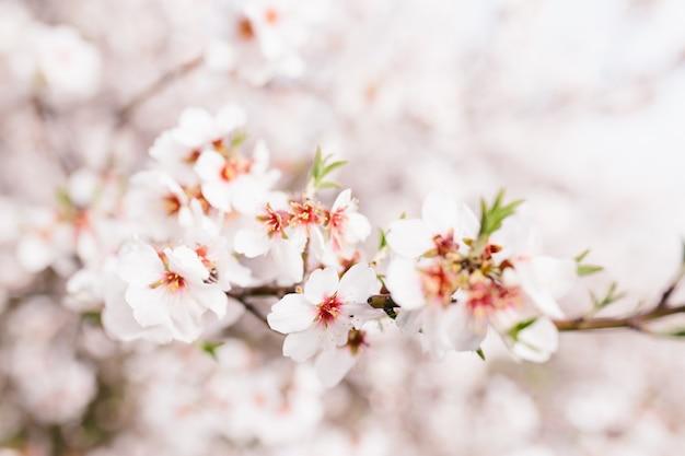 Fundo da árvore de flores de amêndoa. cerejeira com flores concursos. início surpreendente da primavera. foco seletivo. conceito de flores.
