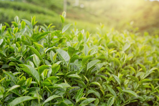 Fundo da folha de chá verde em plantações de chá.