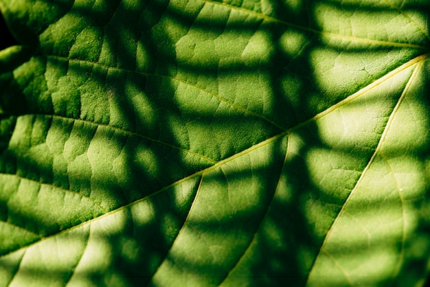 Fundo da folha do acundo negundo com sombra no close up da cerca da grade. imagem texturizada detalhada de folha de bordo em macro.