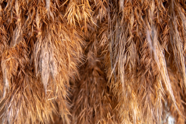 Fundo da grama seca da cor dourada.