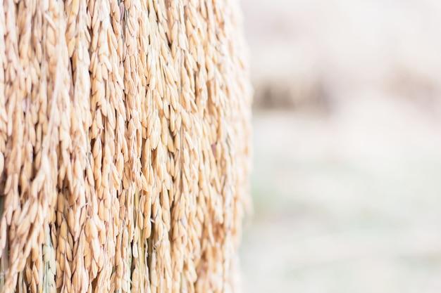 Fundo da grão do arroz do jasmim borrado.