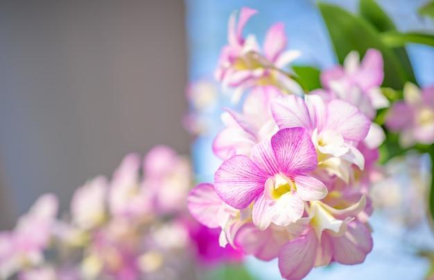Fundo da natureza da flor, fim acima da flor das orquídeas.
