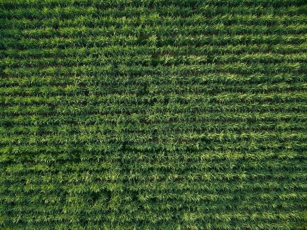 Fundo da natureza da opinião superior de plantação da cana-de-açúcar da vista aérea.
