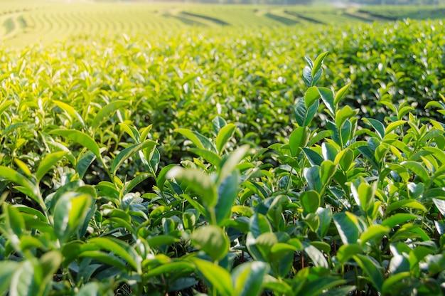 Fundo da natureza da plantação de chá.