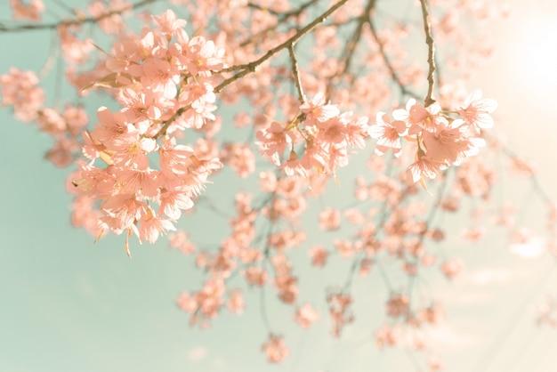Fundo da natureza de linda flor rosa de cerejeira na primavera - filtro de cor pastel vintage