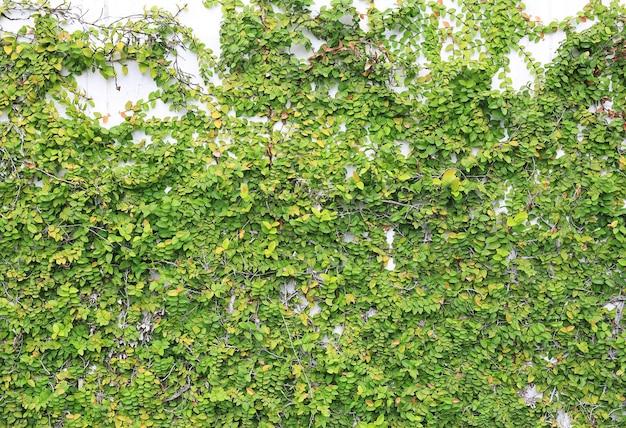 Fundo da parede com folhas verdes
