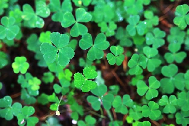 Fundo da planta trevo de quatro folhas. símbolo tradicional irlandês. dia de são patricio.