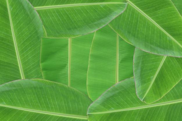 Fundo da textura fresca da folha da banana.