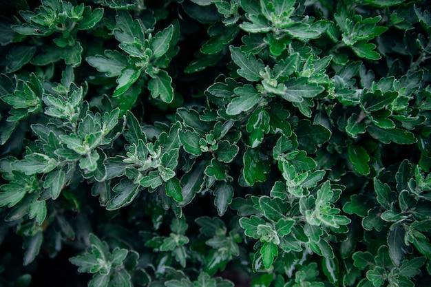 Fundo das folhas da flor do crisântemo. a beleza está na natureza. folhas verdes esculpidas crescem densamente no arbusto.