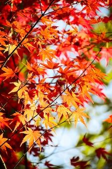 Fundo das folhas de bordo japonês do outono.