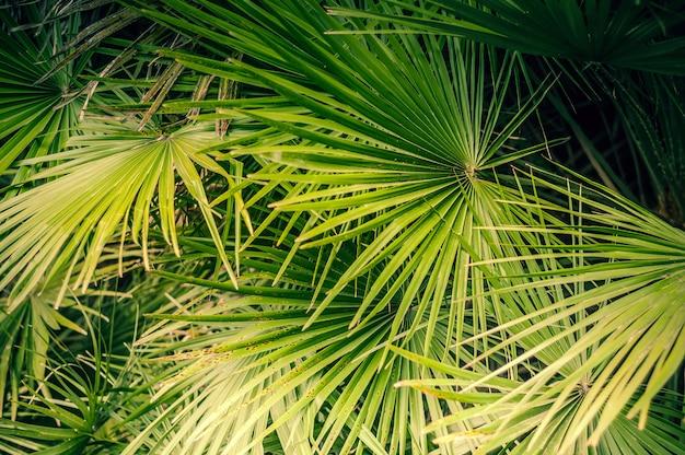 Fundo das folhas naturais de uma palmeira da cor verde.