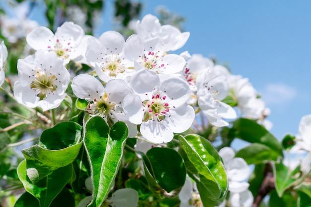 Fundo de árvore de flores de cerejeira
