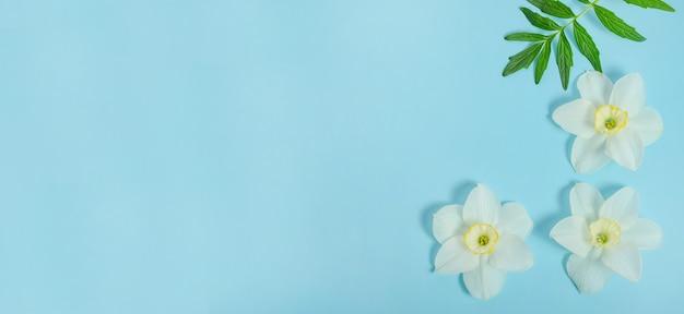 Fundo de banner de cartão de felicitações, delicadas flores de narciso em fundo azul com espaço de cópia