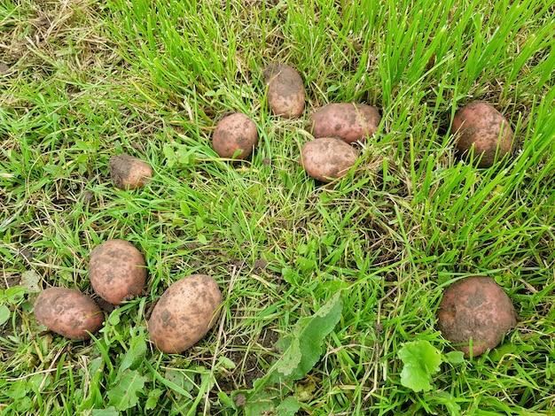 Fundo de batatas marrons deitado na grama verde