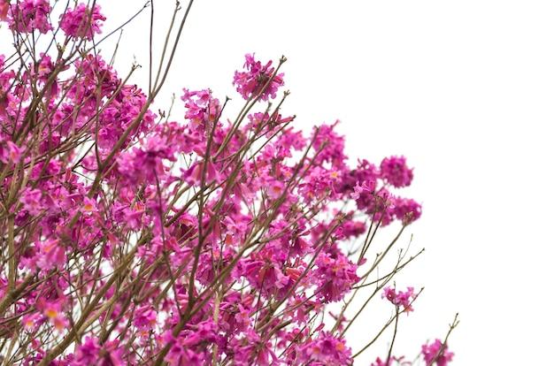 Fundo de belas flores de cerejeira.