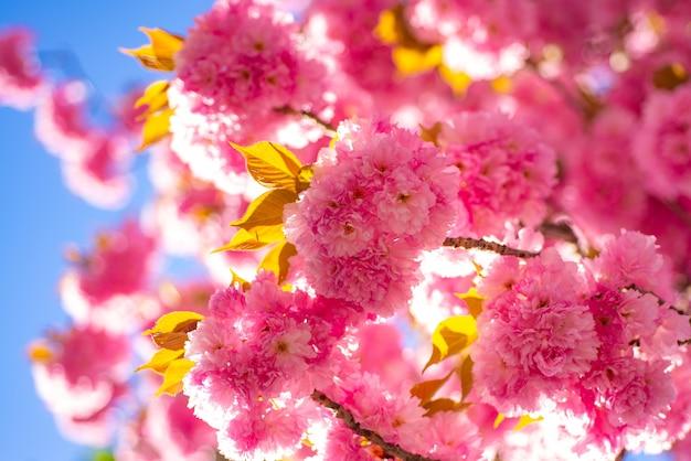 Fundo de borda de primavera com flor rosa. flor de cerejeira. ramo delicadas flores da primavera. cerejeira sacura. sakura festival