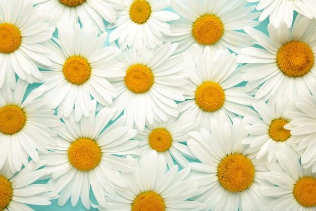 Fundo de camomila. campo de camomila florescendo, flores de camomila. tratamento natural com ervas.