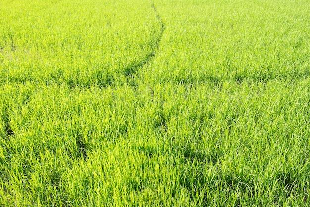 Fundo de campo de arroz verde fresco