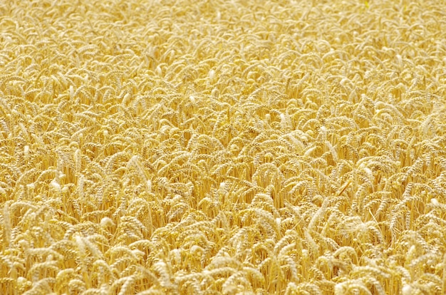 Fundo de campo de trigo dourado