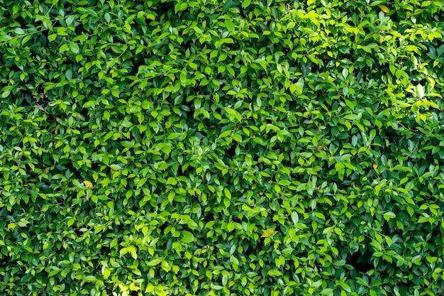 Fundo de cerca ficus annulata no jardim.