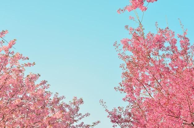 Fundo de cerejeiras em flor na primavera