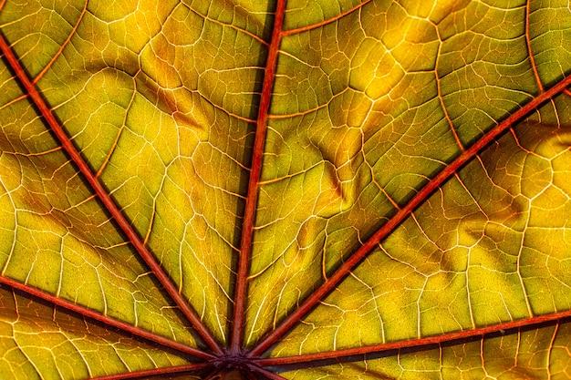 Fundo de close-uptexture de folha outonal colorido