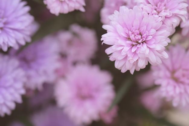 Fundo de crisântemo de flores coloridas