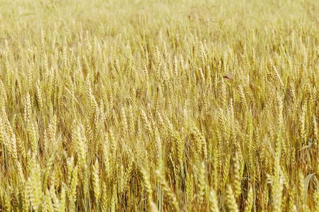 Fundo de espigas de amadurecimento do campo de trigo.