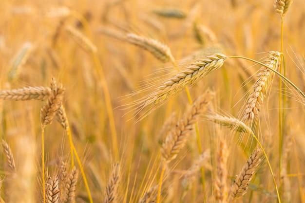Fundo de espigas de trigo amarelas maduras. campo antes da colheita ao pôr do sol. parcialmente desfocado