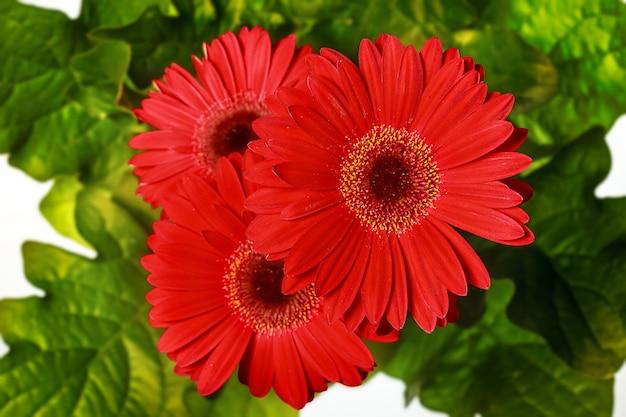 Fundo de flor de gerbera e primavera