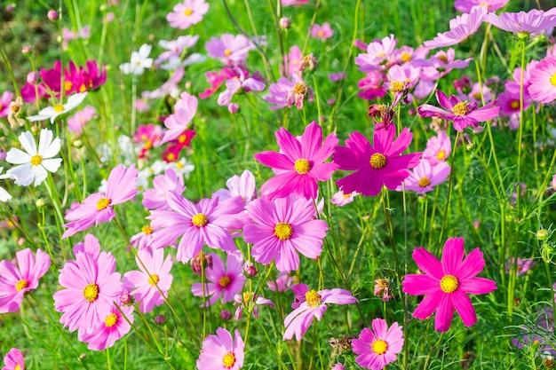 Fundo de flor de inverno e flor de cosmos