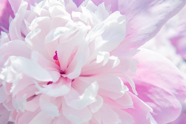 Fundo de flor de peônia rosa linda