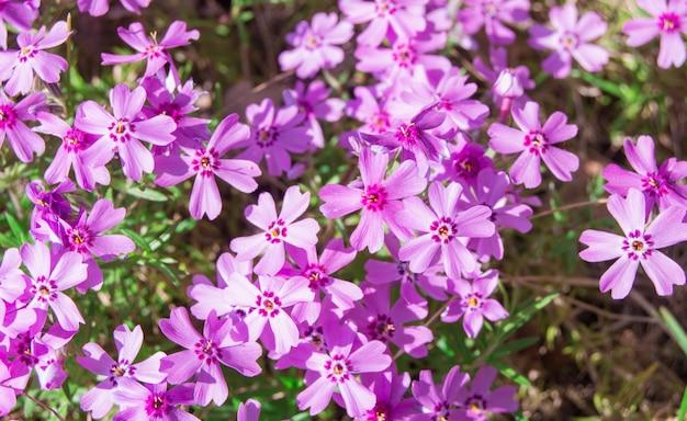 Fundo de flor de primavera, phlox-flox subulata, flores pequenas rosa brilhantes. tapete colorido da primavera em tons pastel suaves